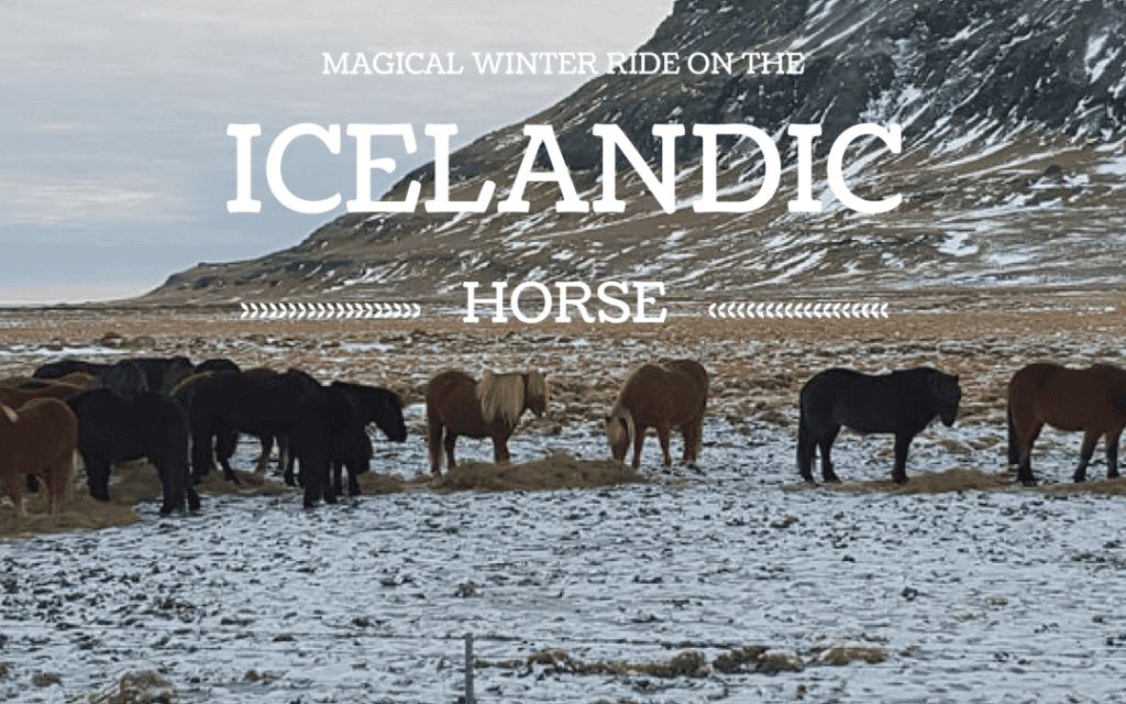 The Icelandic Horse | What it's like to ride one