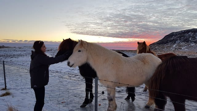 A photo of a girl feeding an Icelandic Horse at sunset
