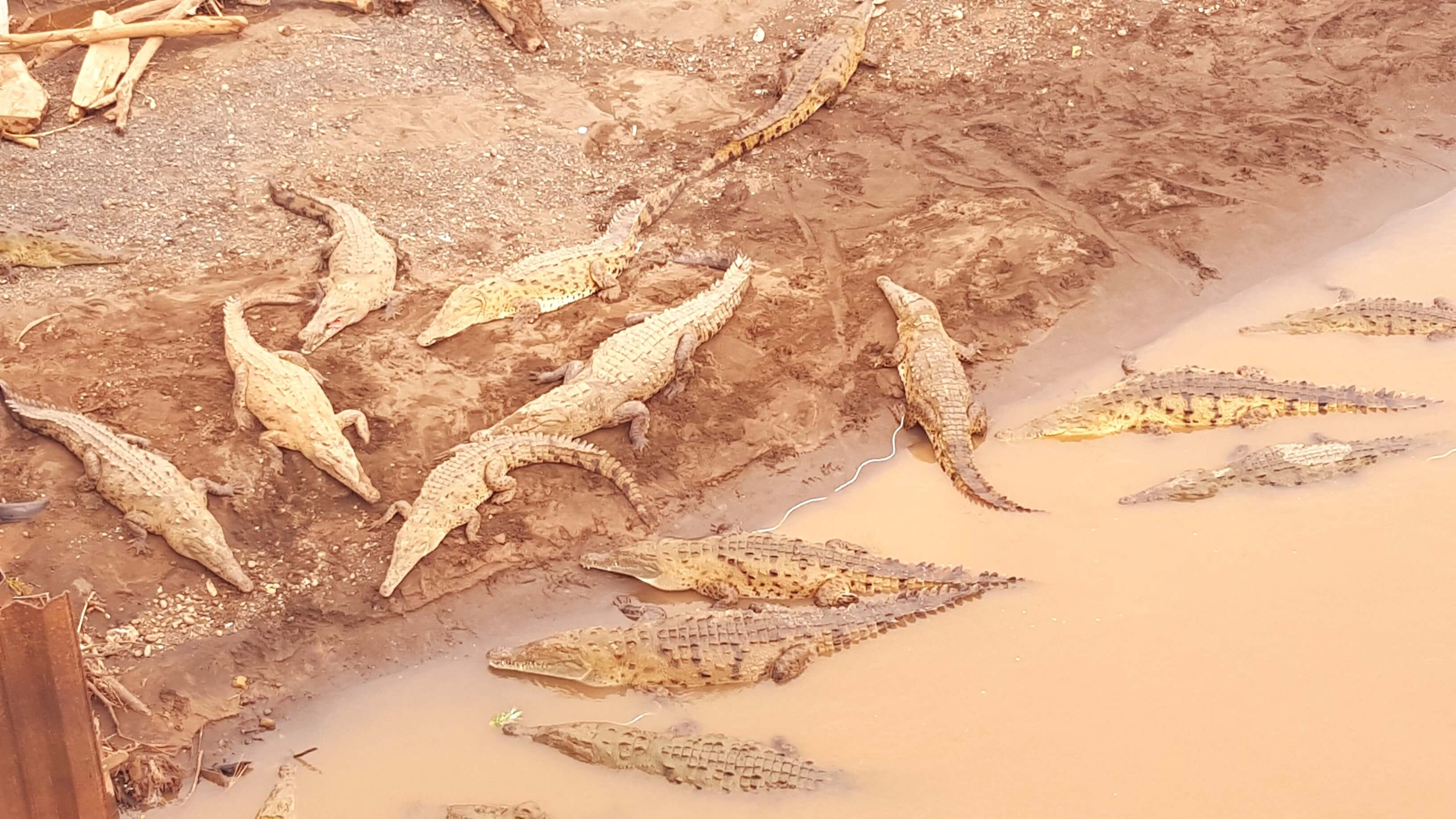 An image showing where to find crocodiles in Costa Rica at Rio Tarcoles bridge near Jaco