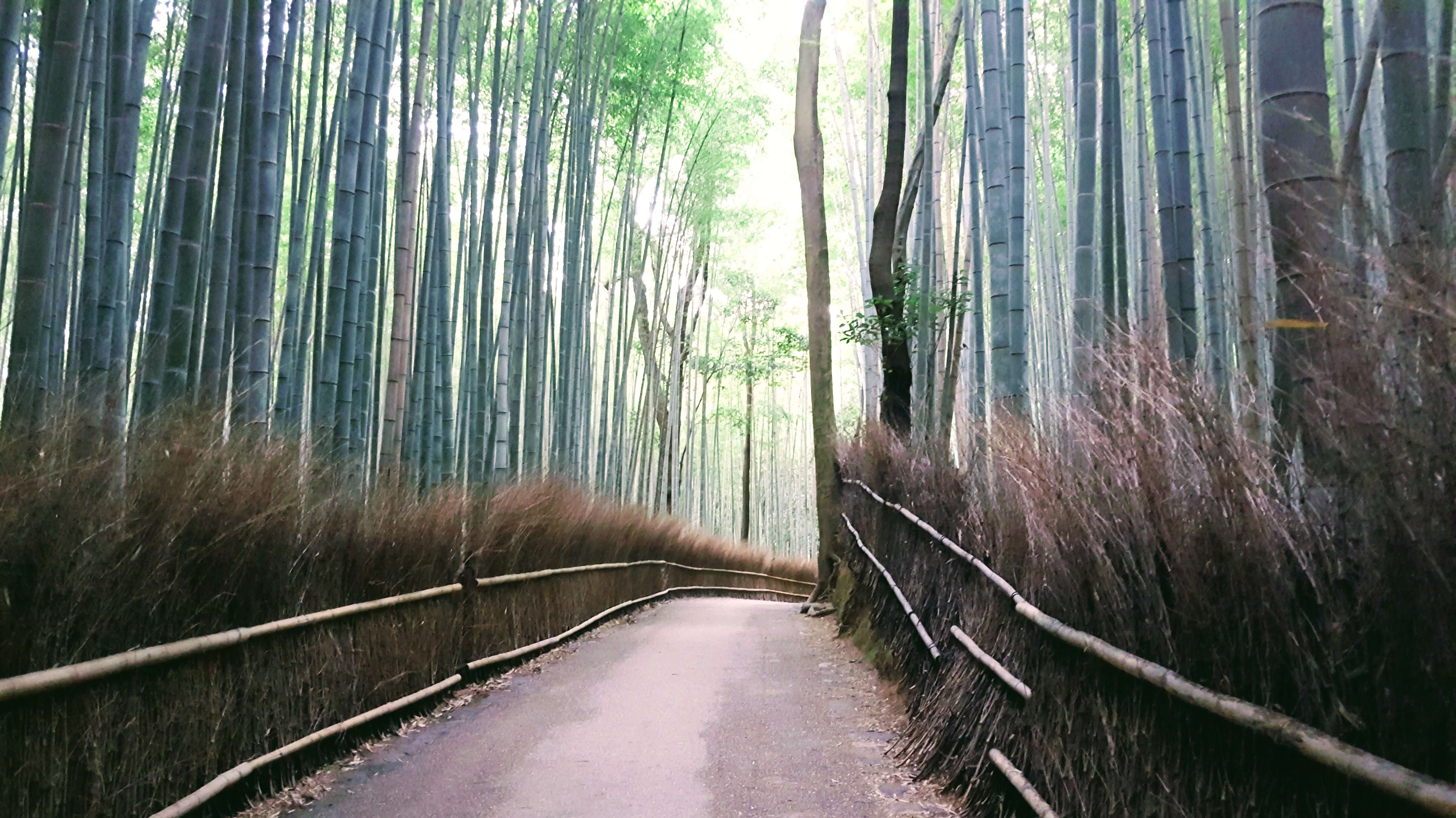 An-image-showing-the-best-things-to-do-in-kyoto-bamboo-grove