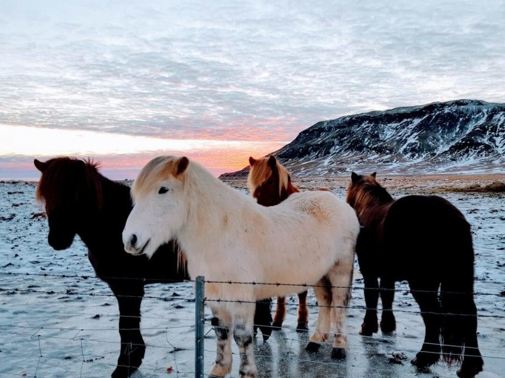 Icelandic-Horses-Golden-Circle-Iceland