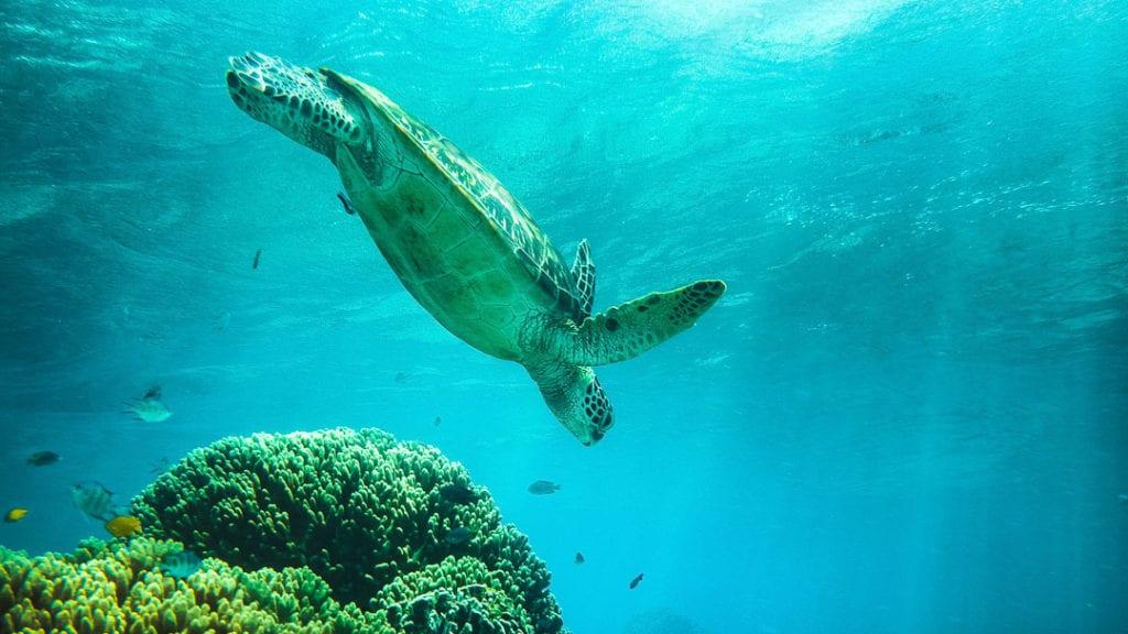 Turtle+Diving+at+Apo+Island+Philippines