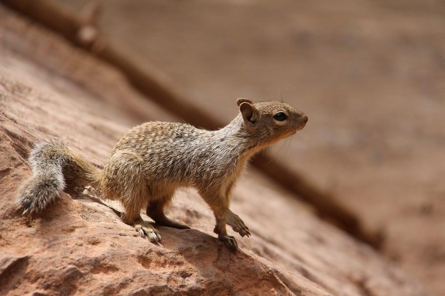 squirrel-zion-national-park