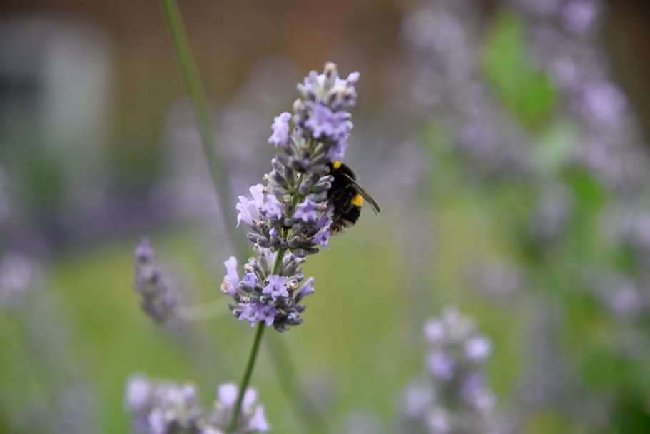 FARMERS'-Welsh-Lavender