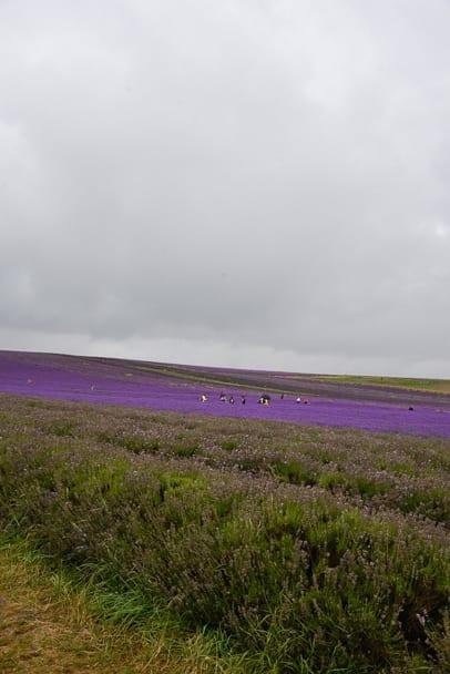 Hitchin-Lavender-Farm-England-near-Cambridge