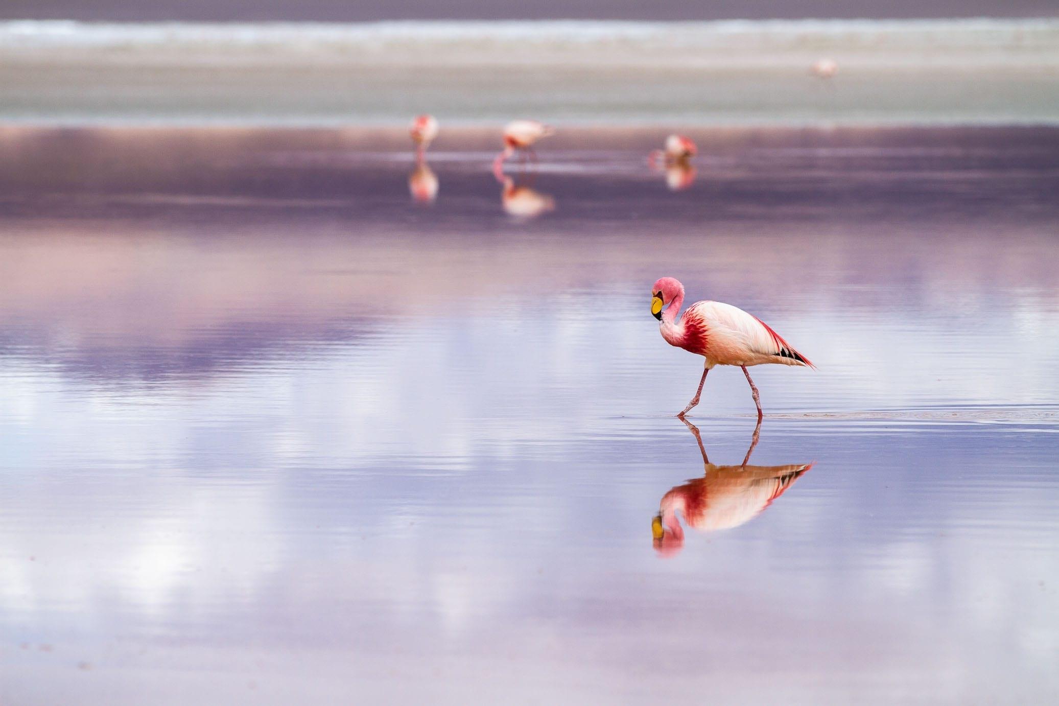 Pink Flamingo Bolivia