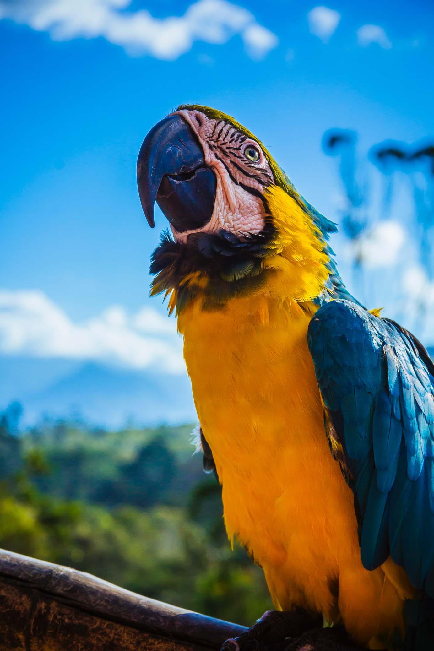 Macaw-amazon