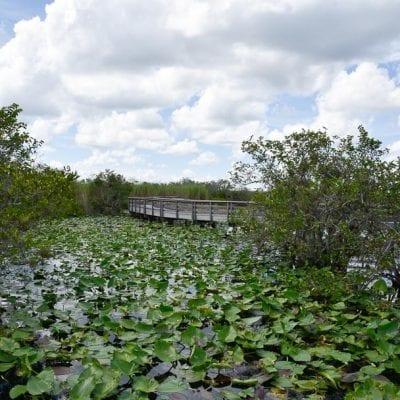 Anhinga Trail Everglades (Alligator Spotting Tips!)