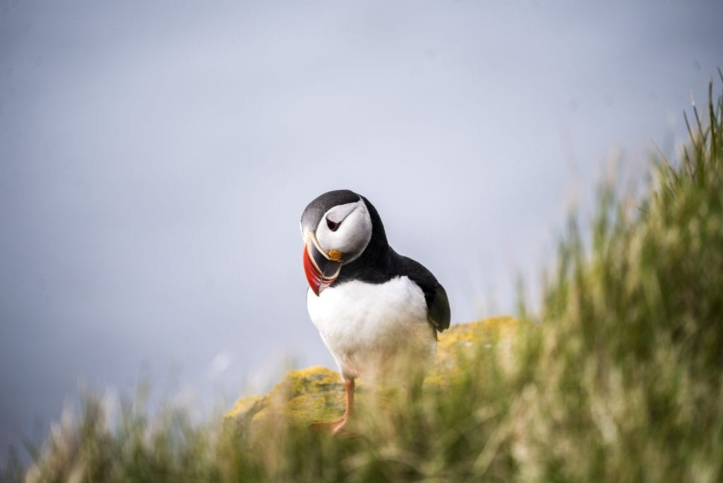 puffins-in-Iceland-Látrabjarg-Iceland