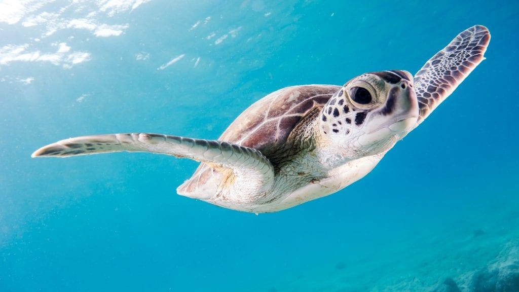 Akumal-turtles