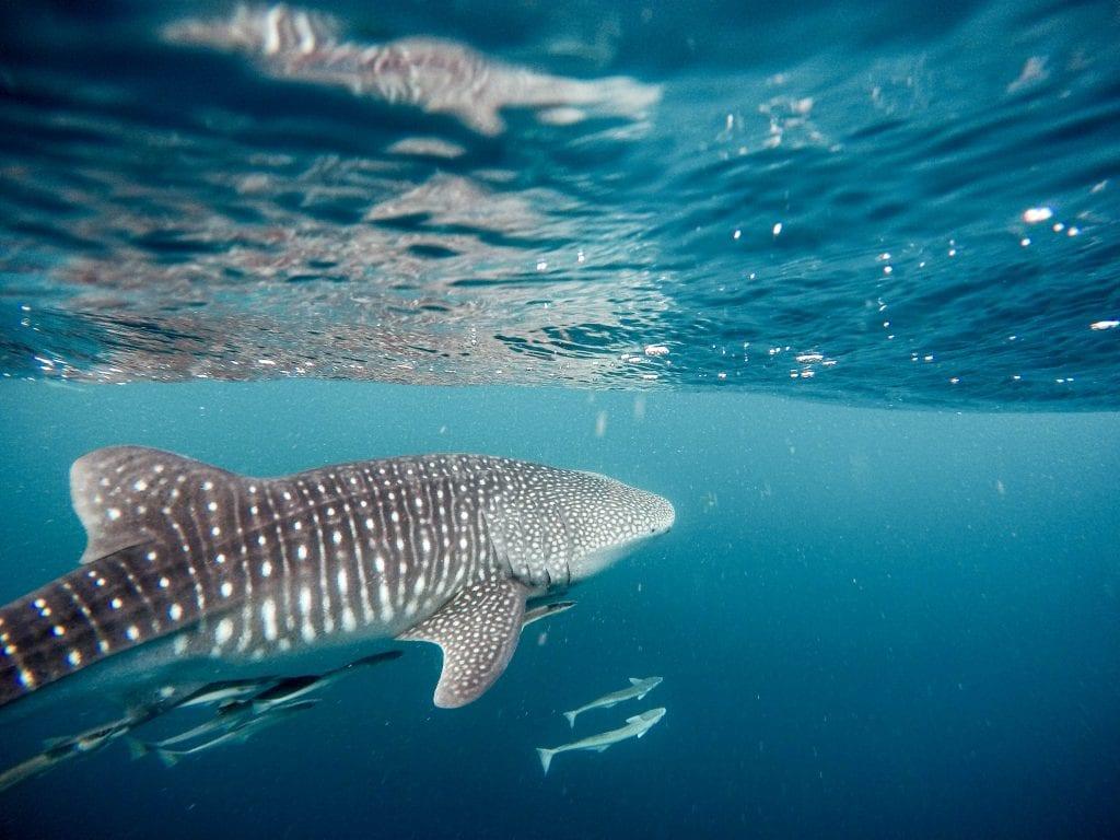 Isla-mujeres-mexico-whale-sharks
