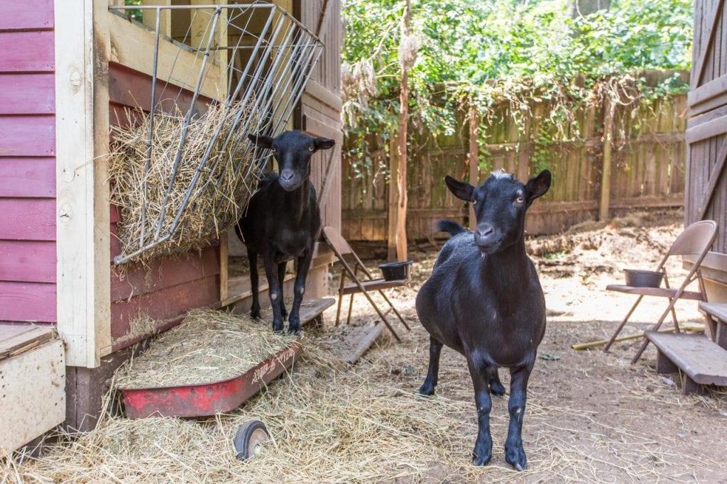 the social-goat