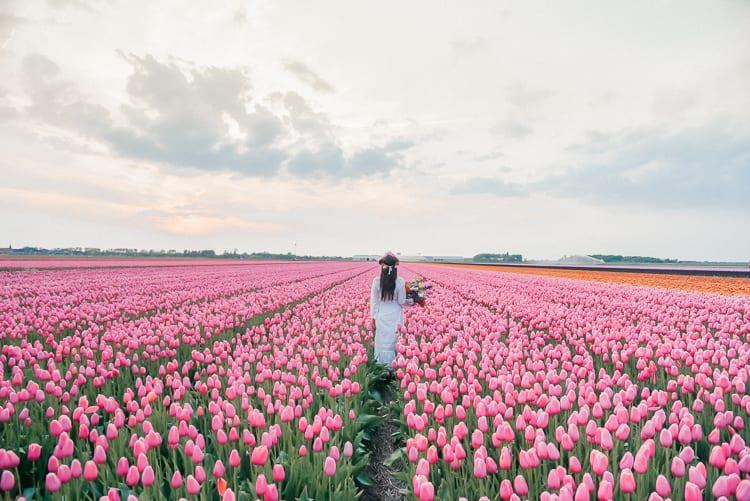 tulip-fields-holland