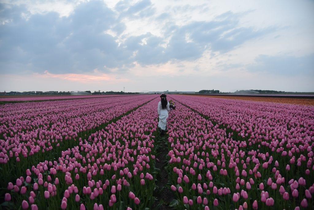 tulips-in-netherlands