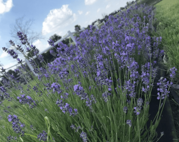 lavender-farm-IN-Outdoor Romantic Date Ideas